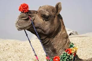 Dromedary (Camelus dromedarius), Portrait, Camel marketの写真素材 [FYI02343316]