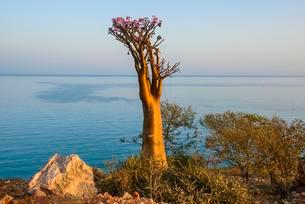 Bottle Tree (Adenium obesum) in bloom, endemic speciesの写真素材 [FYI02343319]