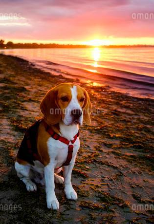 Beagle, male dog sits at sunset on the beach, Germanyの写真素材 [FYI02343349]