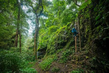 Young hiker on a bamboo ladder in the jungle, Kalianyarの写真素材 [FYI02343354]