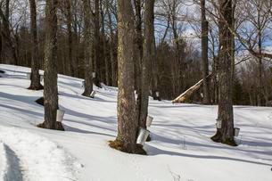 Maple forest with maple sap buckets on trees, Easternの写真素材 [FYI02343377]