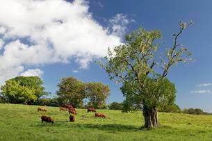 Cattle on pasture, trees with tree moss, Plateau deの写真素材 [FYI02343387]