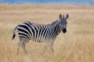 Plains Zebra (Equus quagga) in the steppe grass, Amboseliの写真素材 [FYI02343398]