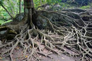 Aerial roots of a ficus tree, Bali, Indonesia, Asiaの写真素材 [FYI02343419]