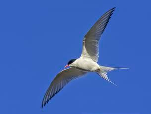 Arctic tern (Sterna paradisaea) in flight, Reykholarの写真素材 [FYI02343421]