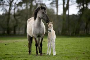 Dulmen pony, mother and foal, Dulmen, Northの写真素材 [FYI02343440]