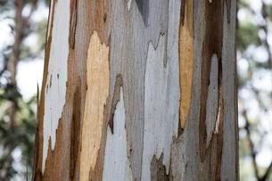 Detail, bark of eucalyptus tree (Eucalyptus), Australiaの写真素材 [FYI02343443]