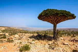 Socotra Dragon Tree or Dragon Blood Tree (Dracaenaの写真素材 [FYI02343463]