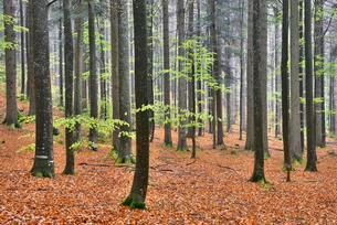Natural mixed forest in the spring, Bavarian Forestの写真素材 [FYI02343484]