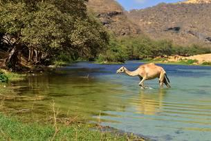 Arabian camel (Camelus dromedarius), walking in a river atの写真素材 [FYI02343521]