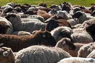 Sheep crammed together, blackheaded sheep in a pastureの写真素材 [FYI02343545]
