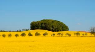 Field of rape (Brassica napus) with avenue and forestの写真素材 [FYI02343547]