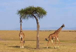Masai giraffes (Giraffa camelopardalis), feeding on a greatの写真素材 [FYI02343556]