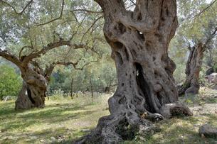 Olive grove, Port de Soller, Majorca, Balearic Islandsの写真素材 [FYI02343565]