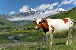 Cow on a pasture at River Tergi or Terek, near Sioni, Highの写真素材 [FYI02343582]