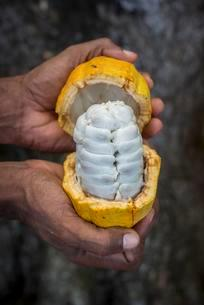 Hand holds broken ripe cacao fruit (Theobroma cacao) withの写真素材 [FYI02343588]