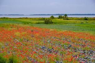 Vegetable fields with poppy, Karavasta Lagoonの写真素材 [FYI02343597]