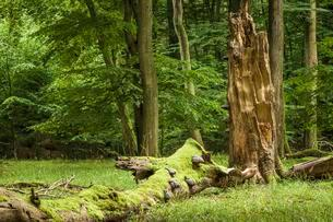 Beech primeval forest with deadwood, Jasmund National Parkの写真素材 [FYI02343621]