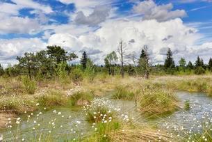 Hare's-tail cottongrass (Eriophorum vaginatum) in wetの写真素材 [FYI02343638]