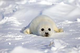 Harp Seal or Saddleback Seal (Pagophilus groenlandicusの写真素材 [FYI02343640]