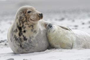 Grey seals (Halichoerus grypus), baby with dam at theの写真素材 [FYI02343645]