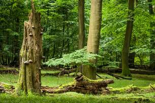 Old beech forest, beech primeval forest with dead wood andの写真素材 [FYI02343665]