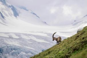 Alpine Ibex (Capra Ibex) in front of glacier, Hohe Tauernの写真素材 [FYI02343673]