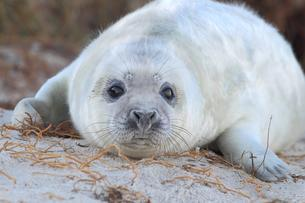Grey Seal (Halichoerus grypus), pup on beach, portraitの写真素材 [FYI02343693]