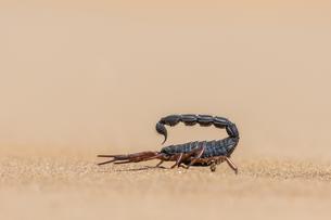 Transvaal thick-tailed scorpion (Parabuthus transvaalicus)の写真素材 [FYI02343701]