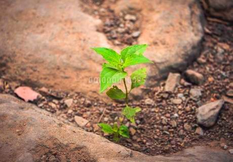 Green sprout, young plant sprouting from dry, stony soilの写真素材 [FYI02343706]