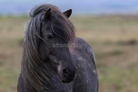 Icelandic Horse, animal portrait, West Iceland, Icelandの写真素材 [FYI02343708]