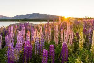 Sun shining through purple Large-leaved lupines (Lupinusの写真素材 [FYI02343726]