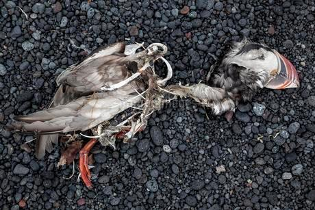 Dead Puffin (Fratercula arctica) lies on black lava stonesの写真素材 [FYI02343734]