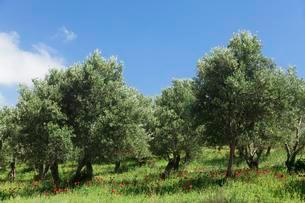 Olive trees and poppy flowers, Valley of Megalopotamosの写真素材 [FYI02343755]