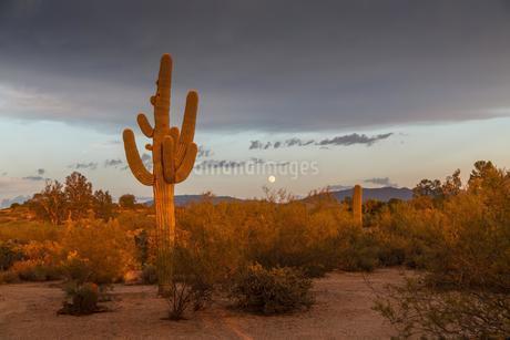 Cactus Landscape, Saguaro (Carnegiea gigantea), eveningの写真素材 [FYI02343767]