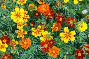 Yellow and orange marigolds (Tagetes), also Marigoldの写真素材 [FYI02343768]