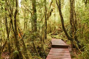 Wooden path through forest with moss, ferns and lichensの写真素材 [FYI02343769]