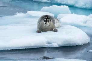 Bearded Seal (Erignathus barbatus) laying on pack iceの写真素材 [FYI02343782]