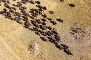 Cape Buffaloes (Syncerus caffer caffer), roaming herdの写真素材 [FYI02343798]