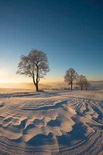 Trees in winter landscape with snow drifts, evening moodの写真素材 [FYI02343809]