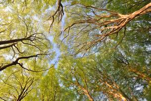 European beech (Fagus sylvatica) trees, treetops in springの写真素材 [FYI02343813]