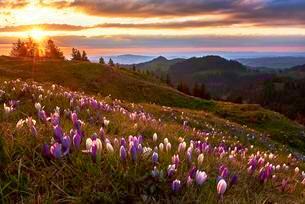Alpine meadow with flowering crocuses (Crocus vernus), Alpの写真素材 [FYI02343841]