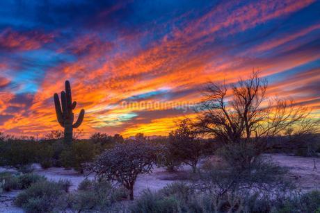 Desert landscape with saguaro cactus (Saguaro) at sunsetの写真素材 [FYI02343862]