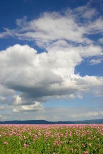 Pink opium poppy (Papaver somniferum) field, blue sky withの写真素材 [FYI02343886]
