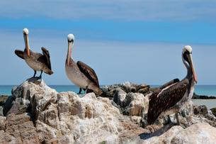 Peruvian Pelicans (Pelecanus thagus) on rocks, Pan deの写真素材 [FYI02343926]