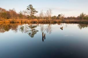 Bog pond in the evening, Hahnenmoor Nature Reserveの写真素材 [FYI02343928]