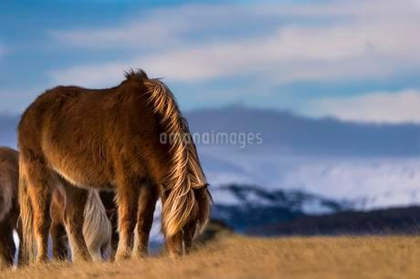 Icelandic horse, grazing in front of mountains, Vikの写真素材 [FYI02343931]