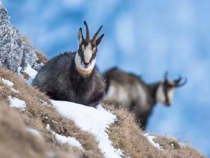 Chamois (Rupicapra rupicapra) rests in the snowの写真素材 [FYI02343950]