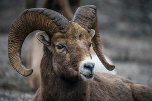 Bighorn sheep (Ovis canadensis), Waterton Lakes Nationalの写真素材 [FYI02343964]