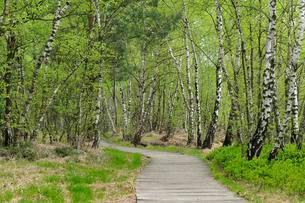 Boardwalk through the birch forest in the Venner Moorの写真素材 [FYI02343987]